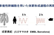 【SL-2】多能性幹細胞を用いた体節形成過程の再現